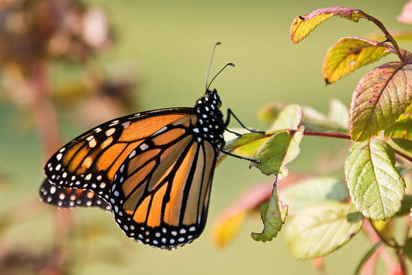 Butterfly Art Print featuring the photograph Monarch by Steve Kenney