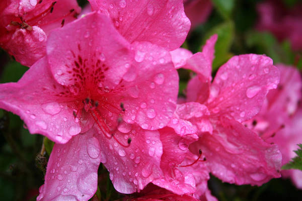 Azaleas Art Print featuring the photograph Morning Dew by Mary Gaines
