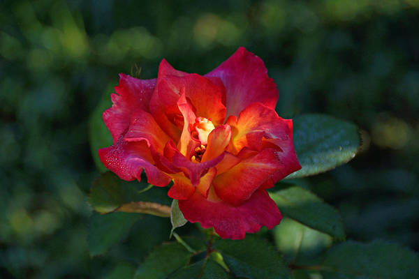 Red Rose Art Print featuring the photograph Morning Sunlight by Sandy Keeton