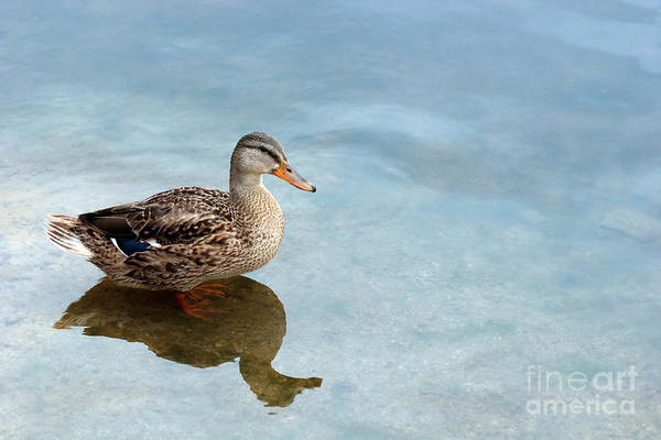 Duck Art Print featuring the photograph Morning Swim by Jeannie Burleson