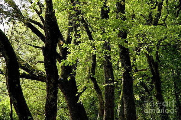 Ardeche Art Print featuring the photograph Mossy Trees In A Late Afternoon Forest by Sami Sarkis