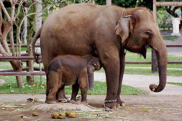 Mother Elephant And The Elephant Calf Art Print featuring the photograph Mother by Yury Bashkin