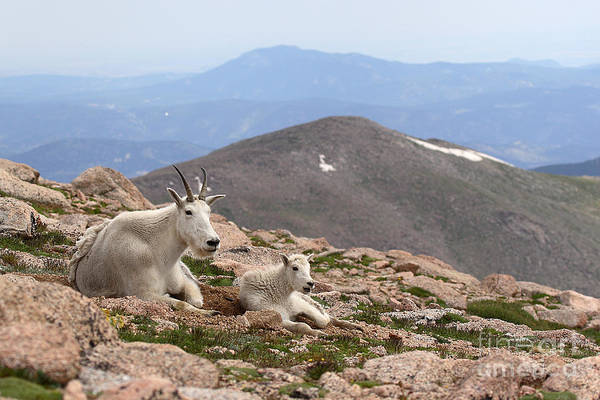 Mountain Goat Art Print featuring the photograph Mountain Goat Mother And Kid In Mountain Home by Max Allen