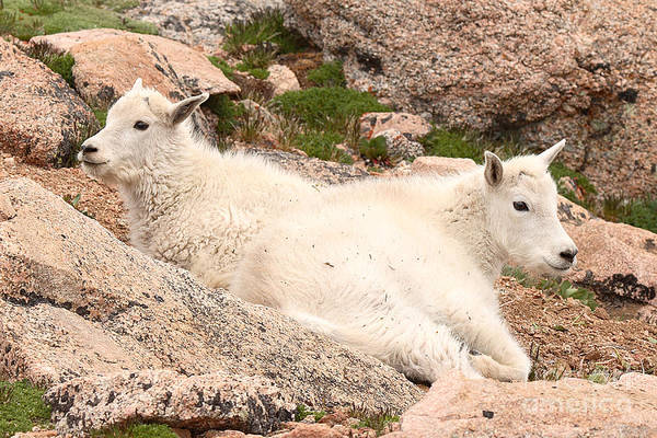 Mountain Goat Art Print featuring the photograph Mountain Goat Twins by Max Allen