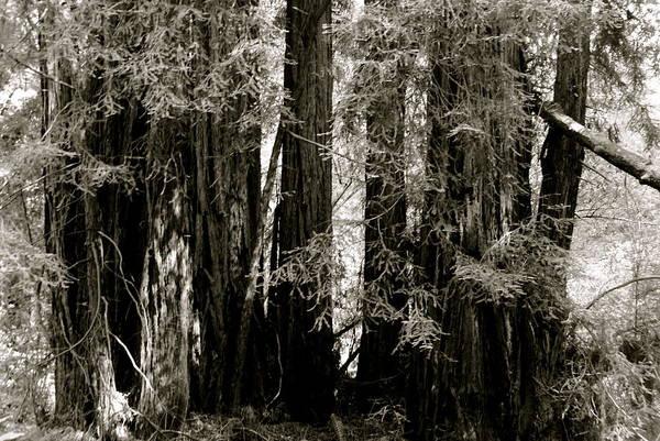 Muir Woods Landmark Art Print featuring the photograph Muir Woods by Sonja Anderson
