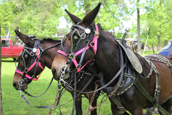 Mule Art Print featuring the photograph Mules 7 by Dwight Cook