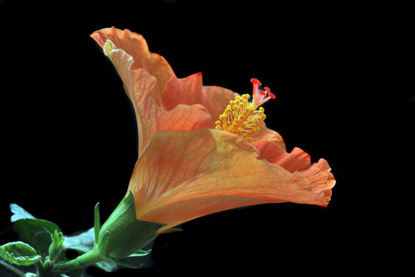Hibiscus Art Print featuring the photograph Nature's Detail. by Terence Davis