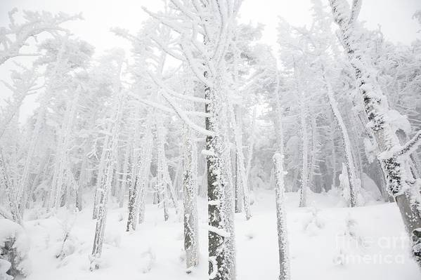 Snow Covered Art Print featuring the photograph New England - Snow Covered Forest by Erin Paul Donovan