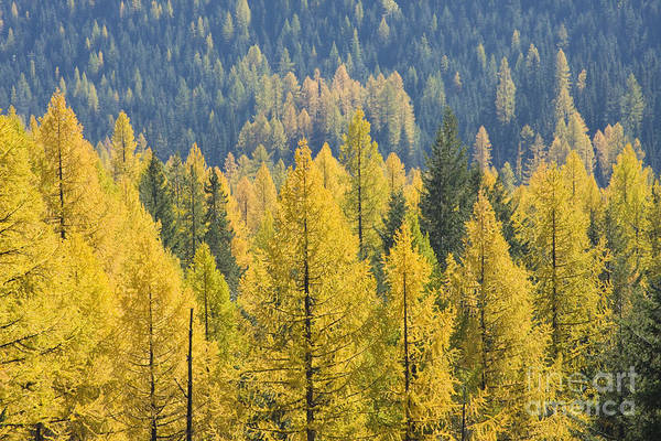 Trees Art Print featuring the photograph North Idaho Gold by Idaho Scenic Images Linda Lantzy