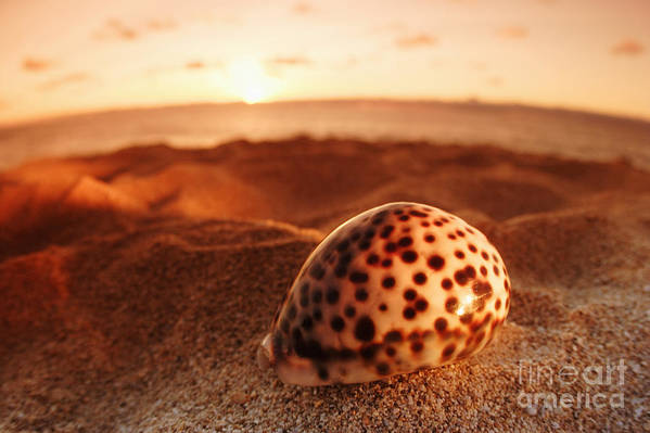 Background Art Print featuring the photograph North Shore Seashell by Vince Cavataio - Printscapes