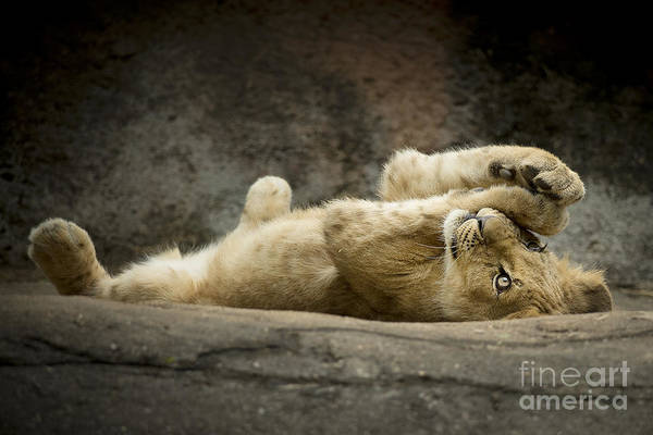 Cub Art Print featuring the photograph Now I Lay Me Down To Sleep by Linda D Lester