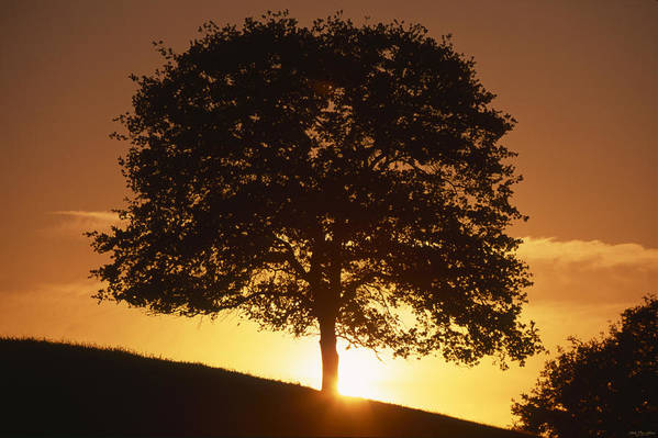 Oak Tree Art Print featuring the photograph Oak Metal by Soli Deo Gloria Wilderness And Wildlife Photography