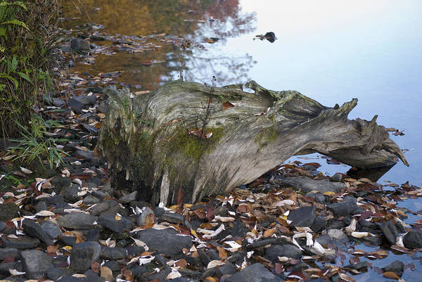 Stones Art Print featuring the photograph Old Tree Stump Upside Down by Richard Botts