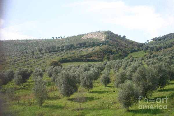 Landscape Art Print featuring the photograph Olive Trees by Dennis Curry