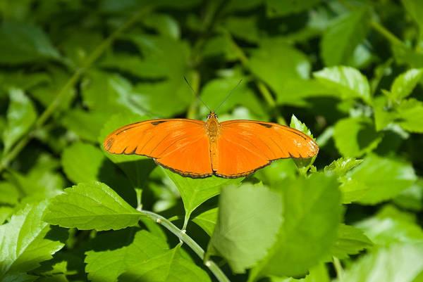 Orange Art Print featuring the photograph Orange Butterfly by Douglas Barnett