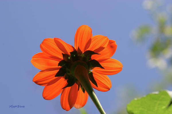 Daisy Art Print featuring the photograph Orange Splash Gerbera Daisy by Michelle Constantine