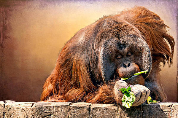 Animal Art Print featuring the photograph Orangutan by Maria Coulson