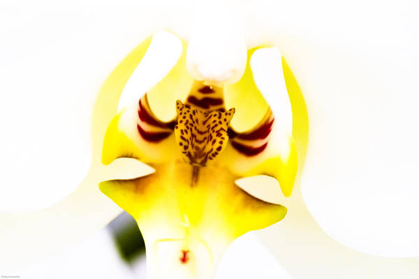 Flower Art Print featuring the photograph Orchid by Ches Black