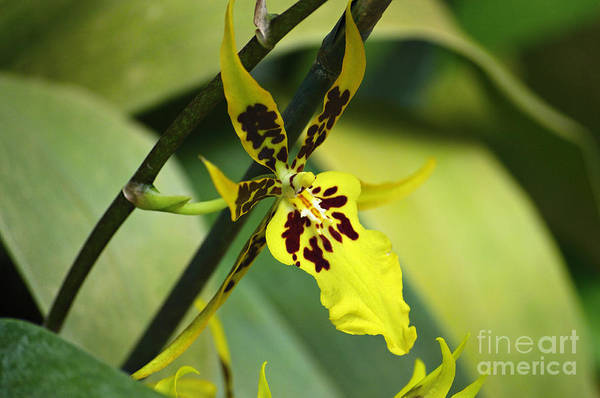 Nature Art Print featuring the photograph Orchid Expression 4237 by Alex Wencelblat