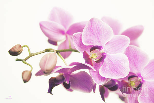 Orchid Art Print featuring the photograph orchid II by Hannes Cmarits