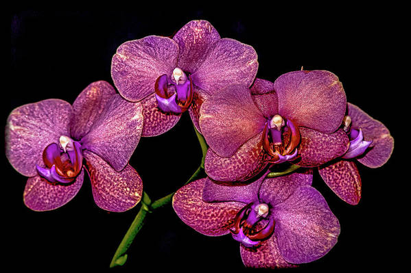 Flowers Art Print featuring the photograph Orchids In Bloom by Euclid Viegas