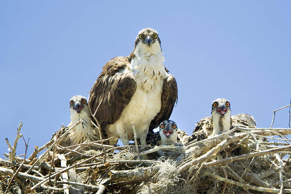 Osprey Art Print featuring the photograph Osprey Family Portrait by Patrick M Lynch