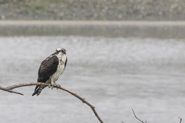 Osprey Art Print featuring the photograph Osprey Looking Over The Rogue River by Belinda Greb