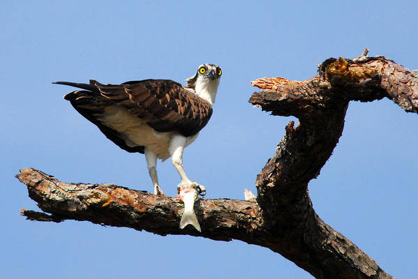 Bird Art Print featuring the photograph Osprey With Fish by Alan Lenk