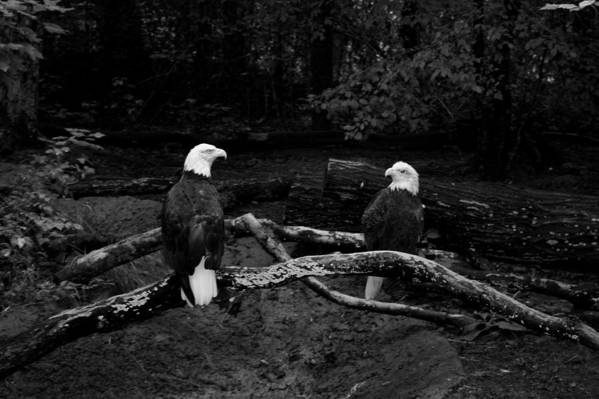 Eagles Art Print featuring the photograph Our Disappearing Heritage by Aimee Galicia Torres