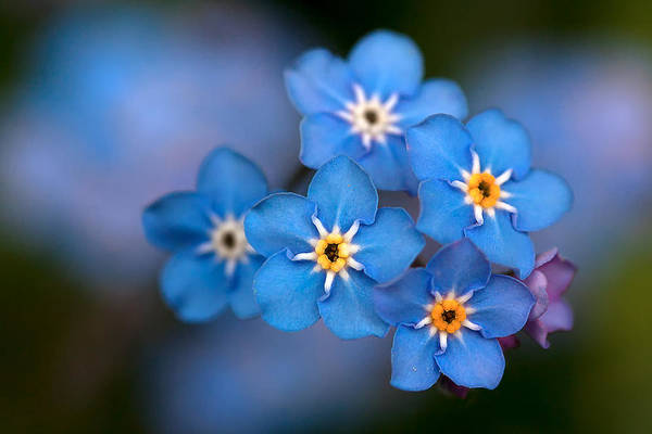Forget Me Not Flower Art Print featuring the photograph Out Of The Blue by Shirley Mitchell