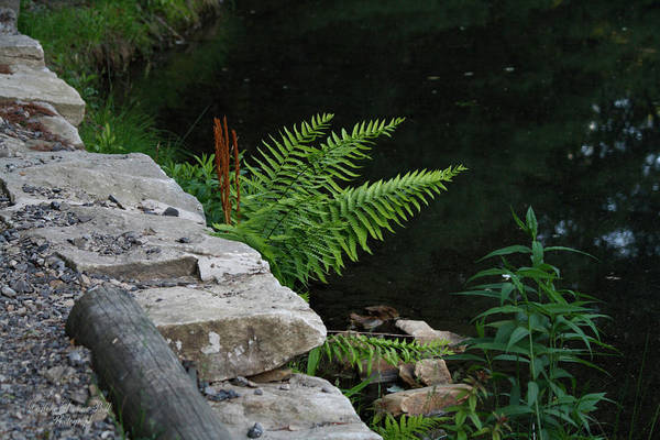 Ferns Art Print featuring the photograph Over The Edge by Darlene Bell