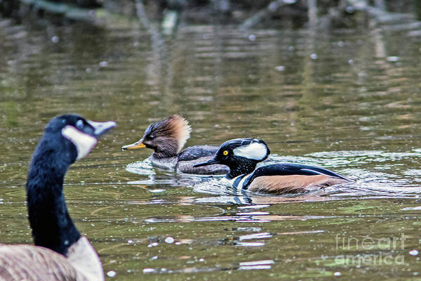 Merganser Art Print featuring the photograph Pa And Ma Hooded Mergansers by Marland Howard