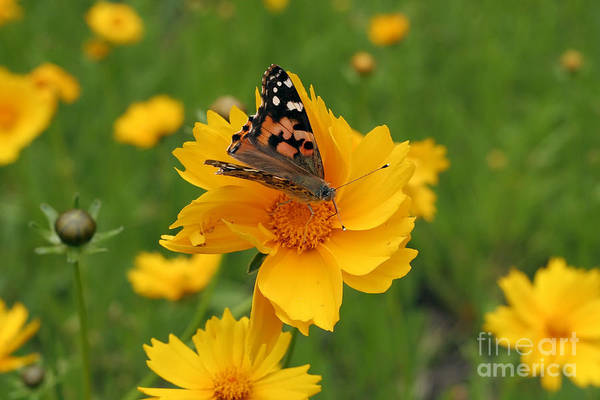 Painted Art Print featuring the photograph Painted Lady Butterfly by Jeannie Burleson