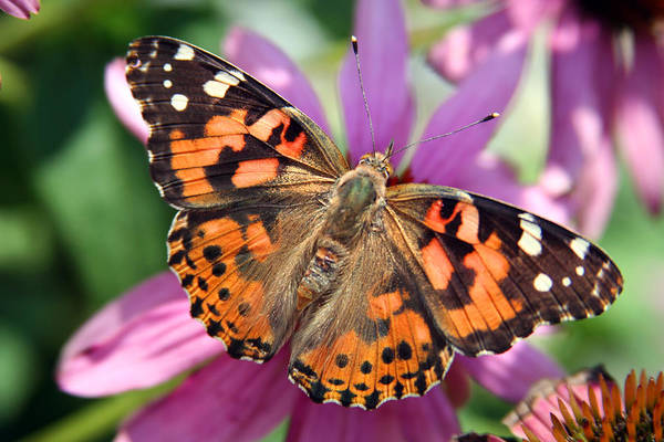Painted Lady Art Print featuring the photograph Painted Lady Butterfly by Margie Wildblood