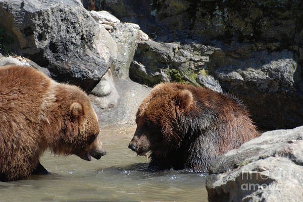 Grizzly Art Print featuring the photograph Pair Of Grizzly Bears Wading In A Shallow River by DejaVu Designs