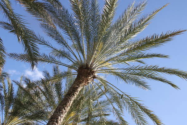 Palm Trees Art Print featuring the photograph Palm Trees 3 by Rebecca Pavelka