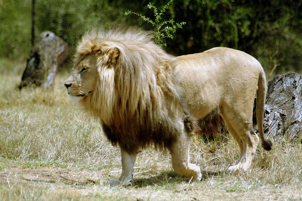 Lion Art Print featuring the photograph Papa Lion On The Prowl by Charles Ridgway