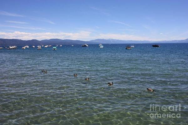 Lake Tahoe Art Print featuring the photograph Parade Of Geese by Carol Groenen