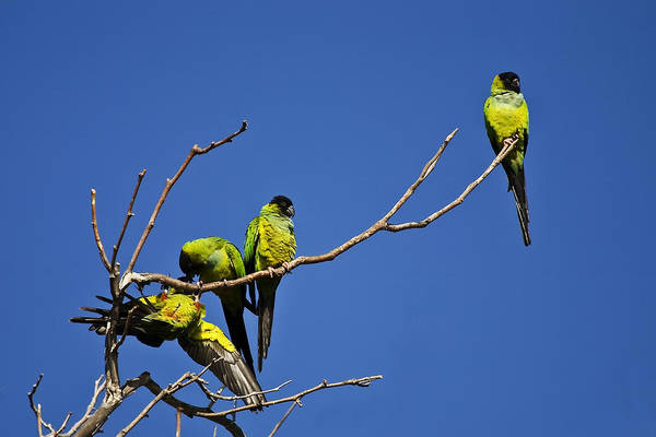 Birds Art Print featuring the photograph Parrot Squabble by Greg Clure