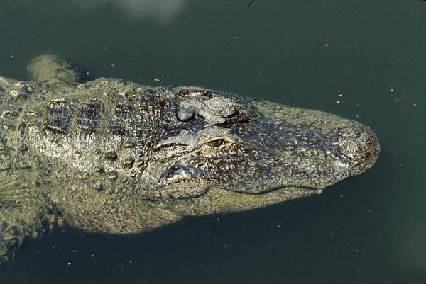 Alligator Art Print featuring the photograph Patience by Frank Mari