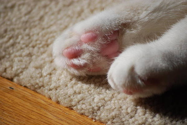 Cat Art Print featuring the photograph Paws by Peter McIntosh