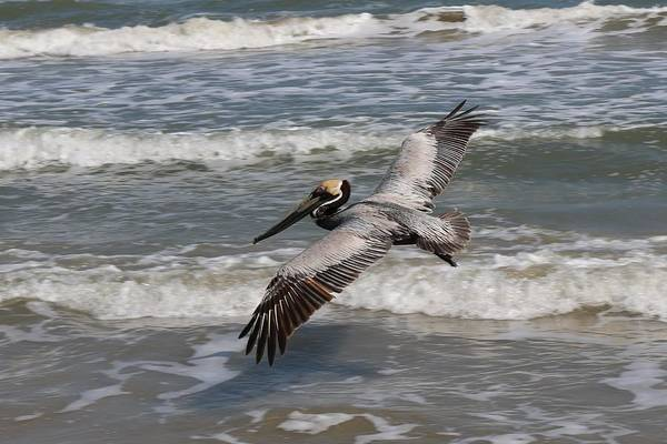 Wild Art Print featuring the photograph Pelican Soaring by Christy Pooschke