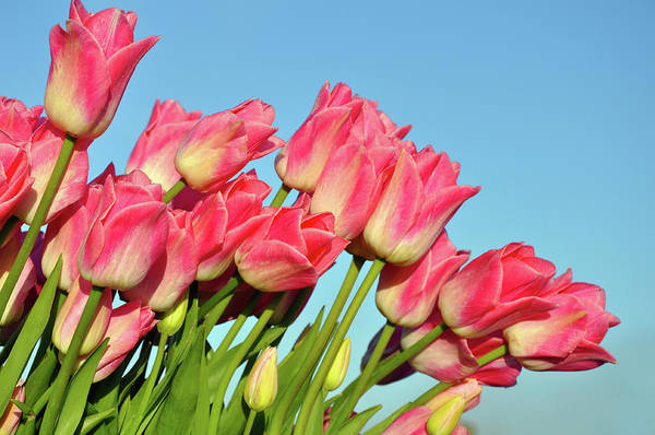 Tulips Art Print featuring the photograph Perfect Pink Tullips by Perl Photography