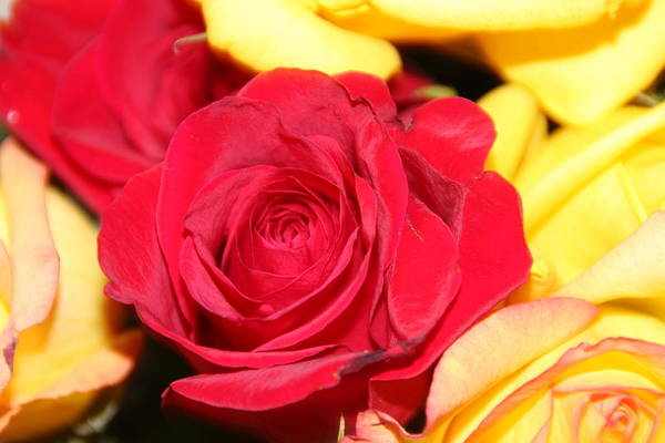 Roses-flowers-red-valentines Day- Art Print featuring the photograph Perfect Rose by Sammy Pooe