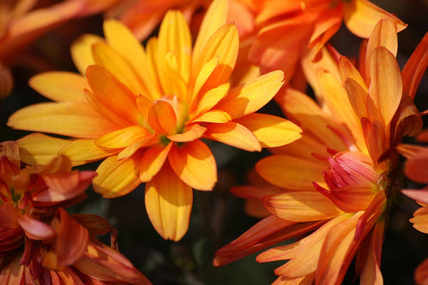 Flowers Art Print featuring the photograph Petals Of Autumn 2 by Jim Darnall