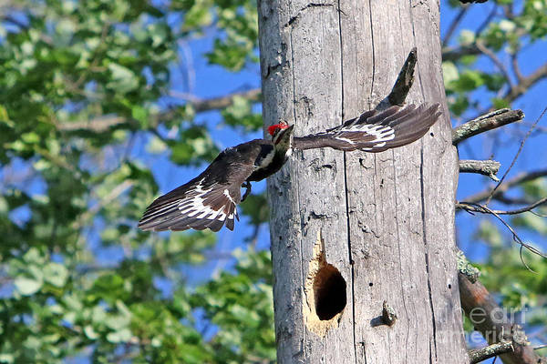 Woodpecker Art Print featuring the photograph Pileated #27 by James F Towne