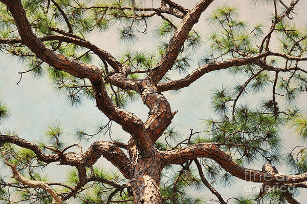 Tree Art Print featuring the photograph Pine Tree by Rose Hill