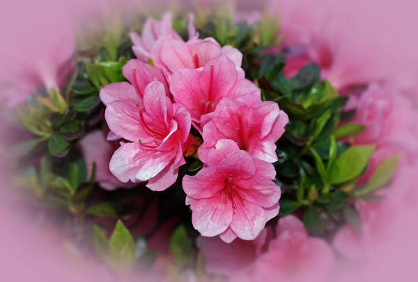 Azaleas Print featuring the photograph Pink Azaleas by Sandy Keeton