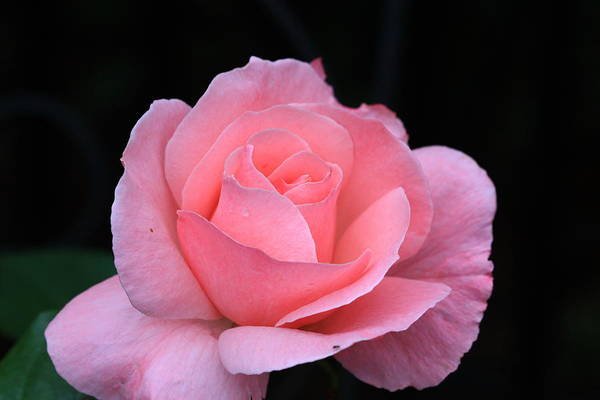 Flower Art Print featuring the photograph Pink Beauty by Paul Slebodnick