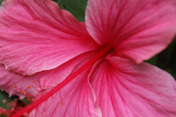 Pink Art Print featuring the photograph Pink Hibiscus by Kathy Schumann